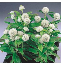 Гомфрена шаровидная Gnome White 10 шт семян