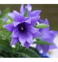 Платикодон Astra semi-double Blue 5 шт семян