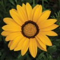 Газания жестколистная F1  Kiss Yellow 5 шт семян