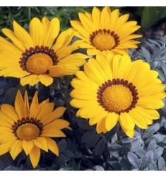 Газания жестколистная F1  Kiss Frosty  Yellow 5 шт семян