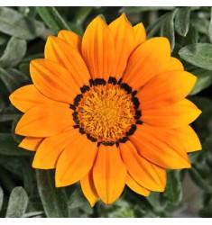 Газания жестколистная F1 Frosty Kiss Orange 5 шт семян