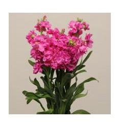 Левкой седой Katz Bright Rose 10 шт семян