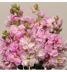 Левкой седой Katz Cherry Blossom 10 шт семян