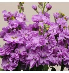 Левкой седой Katz Lavender Blue 10 шт семян