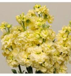 Левкой седой Katz Yellow 10 шт семян