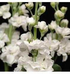 Левкой седой Katz White 10 шт семян