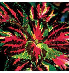 Колеус Giant Exhibition Multicolor 5 шт семян