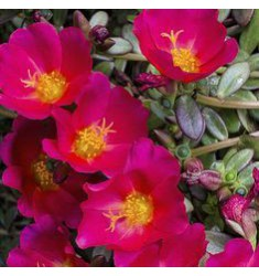 Портулак oleracea Toucan Fuchsia 10 шт семян