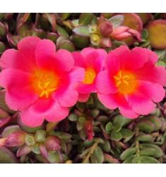 Портулак oleracea Toucan Scarlet Shade 10 шт семян