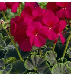 Пеларгония Bulls Eye Cherry 5 шт семян