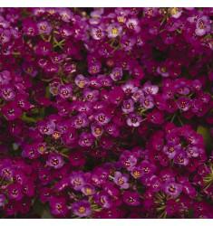 Алиссум Aphrodite Violetta 10 шт семян