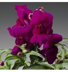 Львиный зев карликовый Montego F1 Violet 10 шт драже