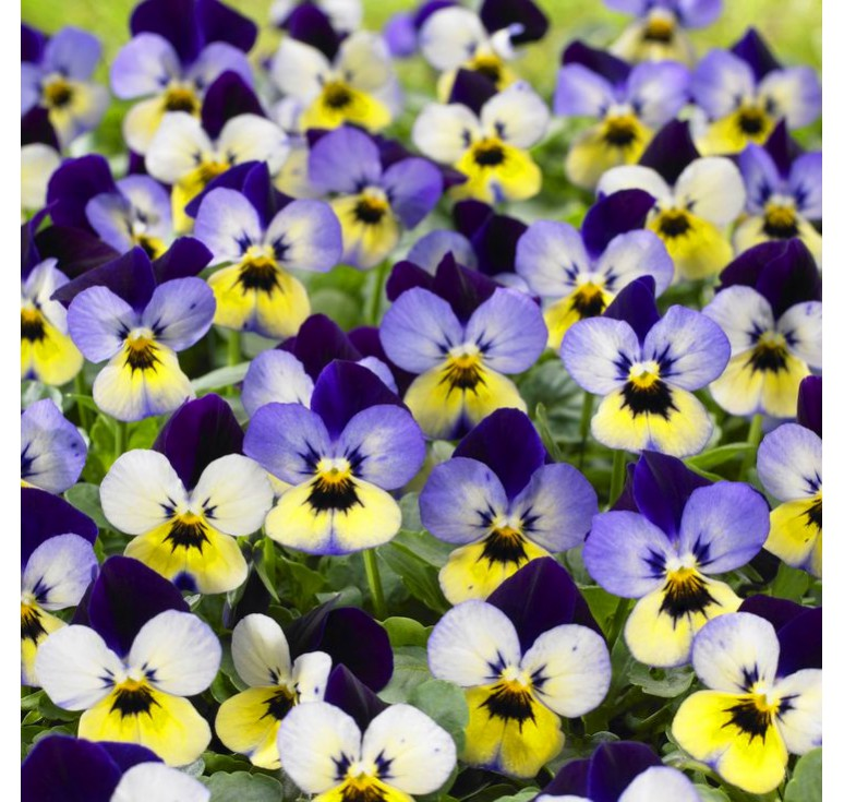 Виола Endurio F1 Blue Yellow With Purple Wing 5 шт семян