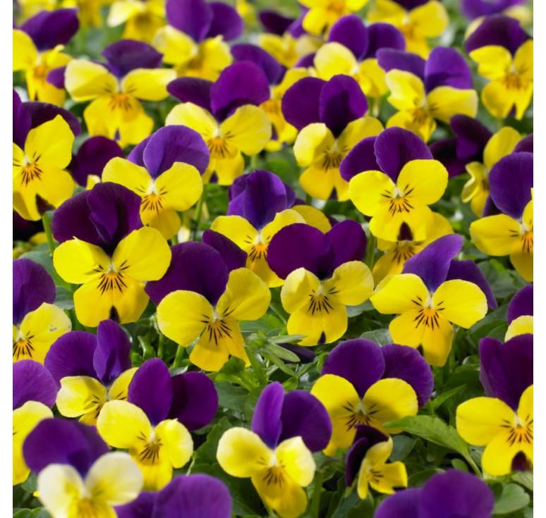 Виола ампельная Endurio F1 Yellow with Purple Wing 5 шт семян