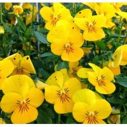 Виола Endurio F1 Pure Yellow 5 шт семян