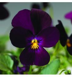 Виола ампельная Endurio F1 Pure Violet 5 шт семян