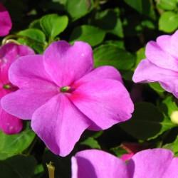 Бальзамин Новогвинейский F1 Divine Pink 5 шт семян