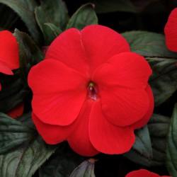 Бальзамин Новогвинейский F1 Divine Scarlet Bronze Leaf 5 шт семян