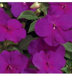 Бальзамин Уоллера Impreza Violet 5 шт семян