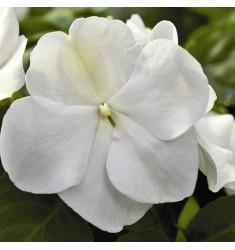 Бальзамин Уоллера Impreza White 5 шт семян