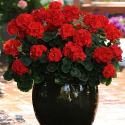 Пеларгония Bulls Eye Scarlet 5 шт семян