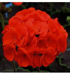 Пеларгония Night F1 Scarlet 5 шт семян