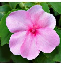 Бальзамин Уоллера Impreza Pink 5 шт семян