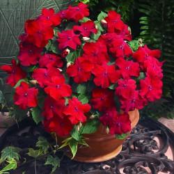 Бальзамин Уоллера Impreza Red 5 шт семян