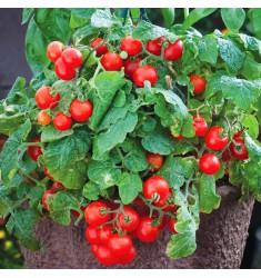 Томат балконный Red Robin 5 шт семян