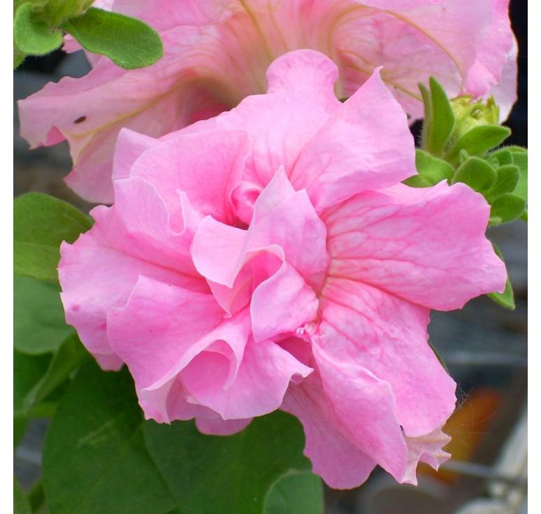 Петуния Double Cascade Pink F1 10 шт драже