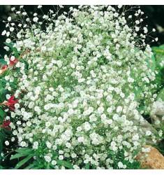 Гипсофила Джипси белая 10 шт семян