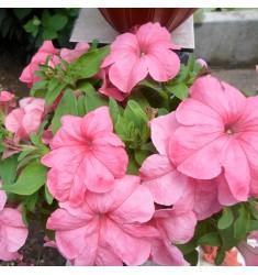Петуния Supercascade Pink 10 шт драже