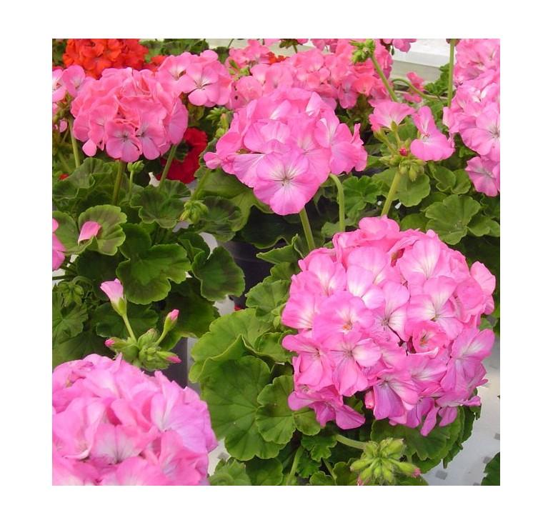 Пеларгония Multibloom F1 Pink 5 шт семян