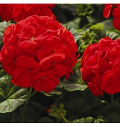 Пеларгония Multibloom F1 Red 5 шт семян