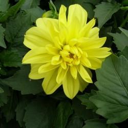 Георгины Figaro Yellow Shades 5 шт семян