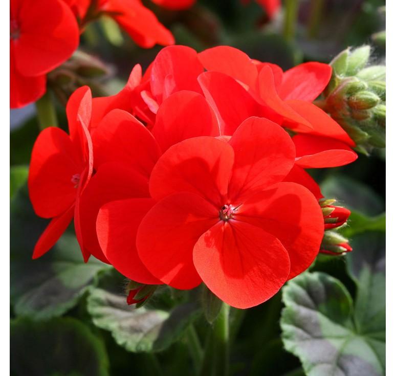 Пеларгония Ringo 2000 Scarlet Star 5 шт семян