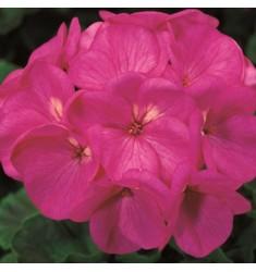 Пеларгония Maverick Violet 5 шт семян