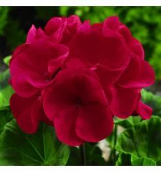 Пеларгония Maverick Red 5 шт семян