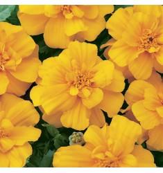 Тагетес Durango Gold 10 шт семян