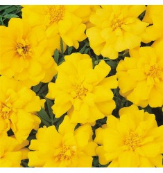 Тагетес Durango Yellow 10 шт семян