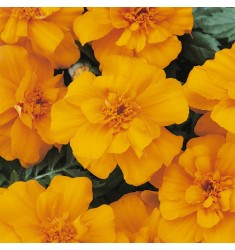 Тагетес Durango Orange 10 шт семян