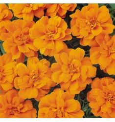Тагетес Durango Tangerine 10 шт семян