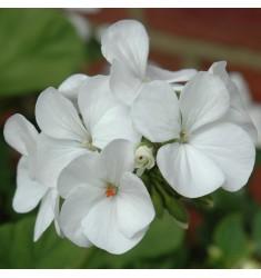 Пеларгония Pinto Premium F1 White 5 шт семян