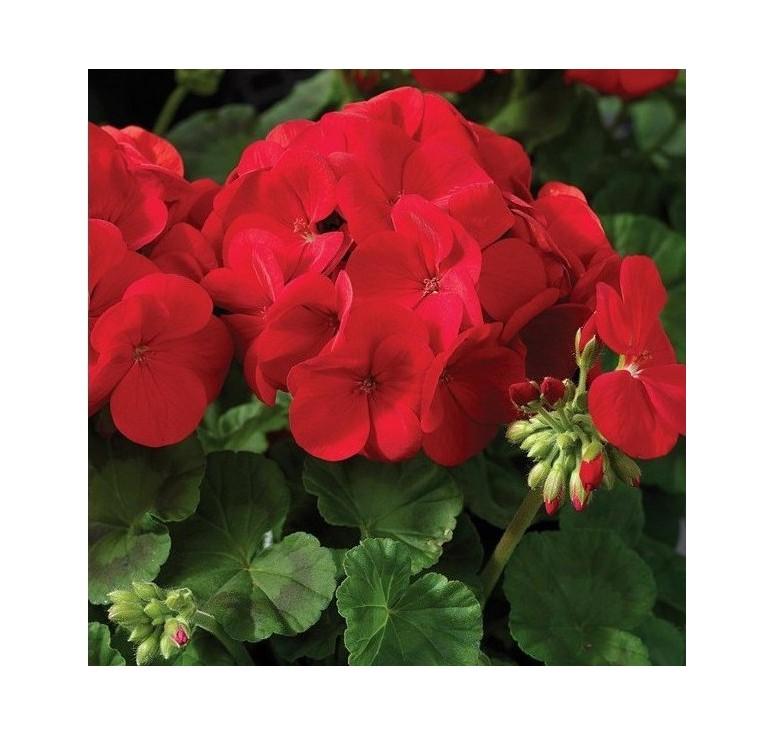 Пеларгония Bulls Eye Red 5 шт семян