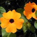 Тунбергия Susie Orange Black Eye 3 шт семян