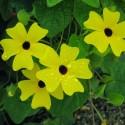 Тунбергия Susie Yellow Black Eye 3 шт семян