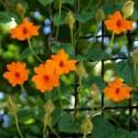 Тунбергия Susie Clear Orange 3 шт семян
