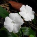 Тунбергия Susie Clear White 3 шт семян