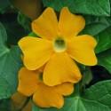Тунбергия Susie Clear Yellow 3 шт семян
