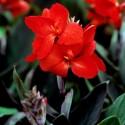 Канна Tropical Bronze Scarlet 3 шт семян